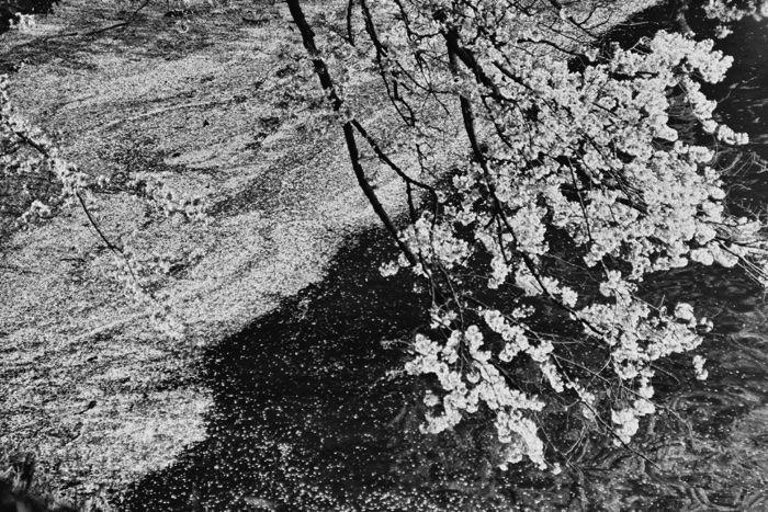 東京遊歩:千鳥ケ淵の桜モノクローム