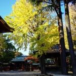 東京遊歩:根津神社の銀杏が見頃
