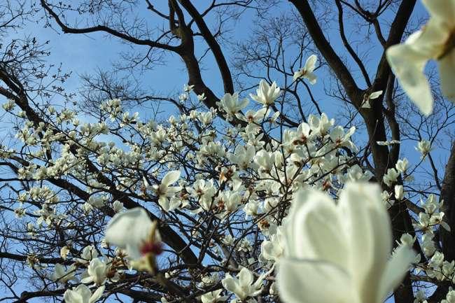 北の丸公園・東宮御所遊歩:春のプロローグ